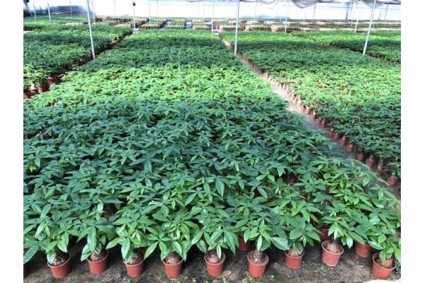 MONEY TREE TRUNK GROWING FIELD