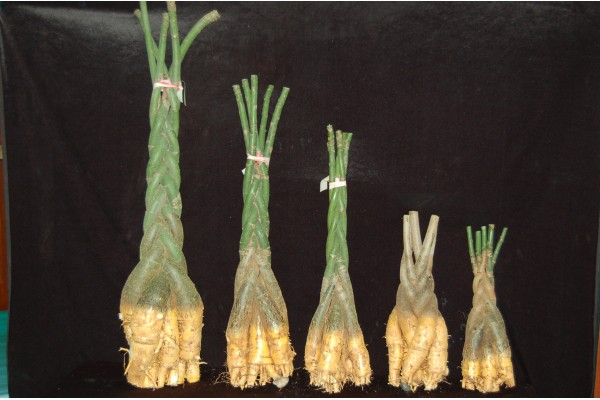 Bare Roots Pachira